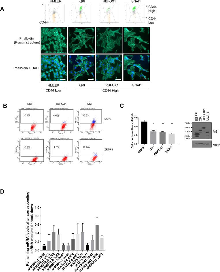 QKI and RBFOX1 promote an intermediate mesenchymal cell state. ( A ) Cell morphologies of the CD44-high cells induced by QKI, RBFOX1 and SNAI1. (Upper) HMLER cells expressing QKI, RBFOX1 or SNAI1 were subjected to cell sorting for CD44 high populations by FACS. (Lower) CD44-high cells induced by QKI, RBFOX1 or SNAI1 were stained for actin structures by Phalloidin. Representative pictures were shown for each cell lines. ( B ) Levels of CD44 as measured by flow cytometry in multiple cell lines including MCF7 and ZR75-1 with ectopic expression of EGFP, RBFOX1 or QKI. ( C ) The impact of QKI and RBFOX1 overexpression in cell proliferation. 10,000 HME cells expressing EGFP, QKI, RBFOX1 and SNAI1 were plated in six-well plates and cell numbers were counted after 6 days of propagation. (Left) Relative cell number quantification. (Right) Immunoblot showing the expression of the indicated V5-tagged ORFs. n = 5; *p