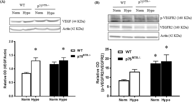 Deletion of p75 NTR preserved hypoxia-induced VEGF expression and VEGFR2 activation. ( A ) Representative Western blotting and bar graph of retinal VEGF protein expression from WT and p75 NTR−/− pups exposed to OIR at p14. Two-way ANOVA showed significant effect of hypoxia increasing VEGF both in WT and p75 NTR−/− pups (*significant compared to WT normoxic group, p