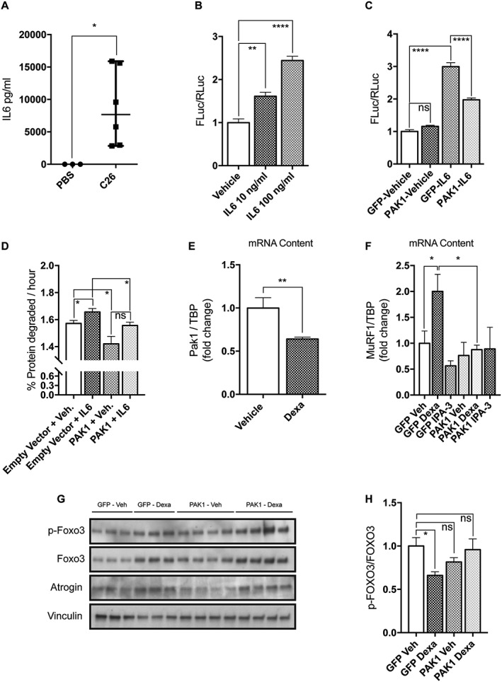 PAK1 overexpression exerts anti‐atrophic effects in two models of in vitro C2C12 atrophy. (A) The circulating levels of IL6 in the plasma of C26‐bearing mice is drastically increased with respect to PBS‐injected mice ( n = 3–6, Mann Whitney's test, * P = 0.02). (B) Upon 5 h treatment with 10 or 100 ng/mL murine IL6, C2C12 myoblasts transiently expressing Stat3 4X‐FLuc reporter plasmids induce FLuc ( n = 3, one‐way anova followed by Dunnett's test, ** P ≤ 0.01, **** P ≤ 0.0001). (C) IL6‐induced Stat3‐FLuc signal is reduced in myoblasts expressing GFP‐PAK1 with respect to those expressing GFP. Myoblasts treated for 5 h with IL6 (100 ng/mL) were previously transfected with Stat3 4X‐FLuc plasmid, Renilla luciferase plasmids, and GFP or PAK1‐expressing plasmids. The results of three independent experiments are shown. Mean is reported ( n = 14, unpaired t ‐test, *** P = 0.0002). (D) Rates of long‐lived protein degradation were measured in myotubes transfected on the third day of differentiation with plasmids for pDSRed2‐PAK1 or empty vector and differentiated for one more day, when they were exposed for 24 h to 10 ng/mL IL6 ( n = 4, unpaired t ‐test, * P ≤ 0.05). (E) The mRNA content of Pak1 is reduced in atrophying myotubes exposed for 24 h to 10 μM dexamethasone ( n = 6, Mann Whitney's test, ** P = 0.002, **** P ≤ 0.0001). (F) Myotubes transfected on the third day of differentiation with plasmids for GFP‐PAK1 or only GFP were exposed for 24 h on the fourth day of differentiation to vehicle or 1 μM dexamethasone or 10 μM IPA‐3. In these conditions, the mRNA levels of MuRF1 were determined by quantitative polymerase chain reaction ( n = 4, unpaired t ‐test, * P ≤ 0.05). (G) Myoblasts were transfected, as indicated earlier, for 24 h, total protein was then extracted. Immunoblot analysis reveals the protein content of p‐FOXO3, FOXO3, atrogin‐1, and vinculin that is used as loading control. (H) Quantification of the ratio between p‐FOXO3 over total FOXO3 is shown ( n = 6–8, unpaired t ‐test, * P ≤ 0.05). SEM is indicated in all figures. IL6, interleukin‐6; FLuc, firefly luciferase; PAK1, p21 protein‐activated kinase 1; TBP, Tata‐Binding Protein.