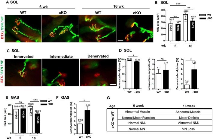 The abnormal architecture of the neuromuscular junction (NMJ) with axonal denervation in conditional knockout (cKO) mice. (A) Fluorescent images of NMJ in soleus muscle (SOL) from mice at age 6 and 16 weeks. Immunofluorescence assay with α‐bungarotoxin (BTX) [red, for acetylcholine receptor (AChR)] and anti‐synaptophysin (Syn) and anti‐neurofilament (NF) antibodies (both green, for nerve terminals) used for analysis of NMJ area and the patterns of axonal innervation. Scale bar: 10 μm. (B) Quantification of NMJ area in soleus muscle in mice at age 6 and 16 weeks. The area of BTX‐labelled AChR represents the NMJ area. n = 5 for 6 week and n = 7 for 16 week mice. The number in each bar indicates the number of examined NMJs. (C) Patterns of axonal innervation in mice at age 16 weeks. Three NMJ innervation patterns are indicated, including innervated (well overlapping of AChR and nerve terminals), intermediate (nerve terminal adjacent to AChR without overlapping), and denervated (no nerve terminal adjacent or overlapped to AChR). n = 3 for each group. Scale bar: 10 μm. (D) Proportion of innervated, intermediate, and denervated endplates in soleus muscle from mice at age 16 weeks. (E) Quantification of NMJ area in gastrocnemius muscle (GAS) from mice at age 16 weeks and (F) proportion of denervated endplates in gastrocnemius muscle. n = 3 for each group. (G) Pathological and motor functional results in cKO mice at age 6 and 16 weeks. Data are mean ± SEM. Panels D and F: by Student's t ‐test; panels B and E: one‐way analysis of variance. * P