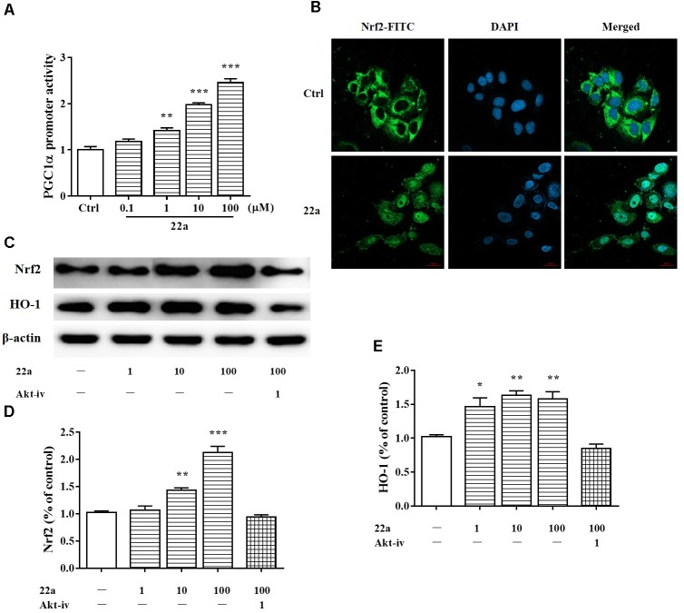Compound 22a activates of PGC1α/Nrf2 signaling pathway. (A) Compound 22a (0.1, 1, 10, 100 μM) increased the transcriptional activity of PGC1α determined by the luciferase reporter assay. (B) Compound 22a (100 μM) induced the nuclear translocation of Nrf2 determined by immunofluorescence staining. Left panel: green fluorescence showing Nrf2 localization. Middle panel: stained nucleus with DAPI. Right panel: merged images from green and blue filters. Scale bar: 20 μm. (C) Immunoblot assay was performed with antibodies against Nrf2 and HO-1. (D,E) Densitometric analysis of the protein expression in (C) . CGNs were treated with compound 22a (1, 10, 100 μM) for 12 h. Data were expressed as the mean ± SEM of three separate experiments; ∗ p