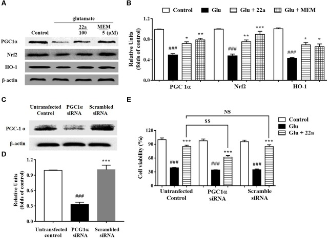 Involvement of the PGC1α/Nrf2 pathway in neuroprotection exerted by compound 22a in CGNs. (A) Representative blots showed the expression of proteins PGC1α, Nrf2 and HO-1 in CGNs after different treatments. (B) Densitometric analysis of the protein expression in (A) . (C) Representative blots showed the protein expression of PGC1α was silenced in CGNs pretreated with PGC1α siRNA, but not when pretreated with scrambled siRNA. (D) Densitometric analysis of (C) . (E) PGC1α siRNA significantly attenuated the neuroprotective effects of compound 22a against glutamate-induced neuronal cell death in CGNs. CGNs were transfected with either PGC1α siRNA or scrambled siRNA for 24 h and then pretreated with compound 22a (10 mM) for 2 h before exposure to 200 μM glutamate. Cell viability was measured at 24 h post glutamate exposure using the MTT assay. Data were expressed as the mean ± SEM of three experiments; ### p
