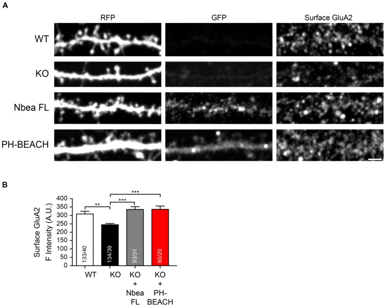 PH-BEACH domain restores surface targeting of GluA2 receptors in Nbea-deficient neurons. (A) Representative dendrites of primary hippocampal neurons from wild-type (WT) and Nbea null-mutant (KO) mice transfected with cytosolic marker t-dimer-RFP alone and in combination with GFP-tagged full-length Nbea (KO + Nbea FL) or the PH-BEACH domain (KO + PH-BEACH). Right panels, surface populations of GluA2 receptor subunits visualized by live labeling of neurons with an antibody directed against an extracellular epitope of the GluA2 subunit. Scale bar: 2.5 μm. (B) Quantification of surface GluA2 fluorescence intensity measured on dendrites of WT, KO, KO + Nbea FL and KO + PH-BEACH neurons. Data are means ± SEM. N , number of dendritic window/neurons (in bars); ∗∗ P