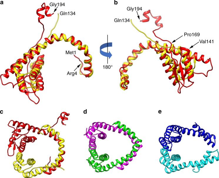 Structural conservation and divergence among capsid proteins. Heterodimers ( a , b , c , e ) and homodimers ( d ) form the capsids in SFV1 ( a , b , c ), SIRV2 ( d ) and AFV1 ( e ). a , b VP5 (red) and VP4 (yellow) from SFV1 have been aligned to each other. The long α-helix that wraps around the DNA is structurally quite conserved between the two. The main differences between the two coat proteins is that VP5 has an insert (from ∼141 to 169) that contains the two β-strands seen in ( b ), and VP5 has a C-terminal extension that contains two short helices. This C-terminal extension crosses the helical groove and makes a large contact with a subunit in the next turn. The SFV1 heterodimer ( c ) is more similar in how it wraps DNA to the SIRV2 homodimer ( d ) than it is to the AFV1 heterodimer ( e )