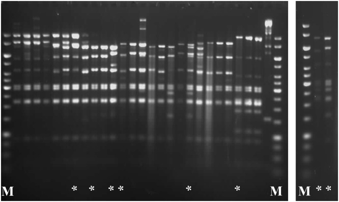Restriction enzyme profiles of representative Lactococcus phages analysed in this study. DNA samples were cut overnight with EcoRV at 37 °C and treated with 50% formamide to dissociate cos ends prior to electrophoresis. M: 1-kb DNA Ladder (Fermentas). Unique phage DNA restriction patterns are marked by an asterisk (*).