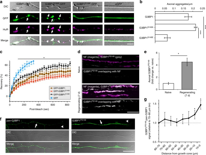 G3BP1 is phosphorylated in regenerating axons. a Representative images for axons of DRG neurons transfected with indicated G3BP1 constructs vs. eGFP are shown. G3BP1-GFP and G3BP1 S149A -GFP show prominent aggregates in axons that colocalize with HuR (arrows). In contrast, axonal signals for G3BP1 S149E -GFP and eGFP appear diffuse [scale bar = 5 µm]. b Quantification of axonal aggregates for G3BP1-GFP, G3BP1 S149A -GFP, and G3BP1 S149E -GFP is shown as average ± SEM ( N ≥ 10 neurons over 3 repetitions; *** p ≤ 0.005 by one-way ANOVA with Tukey HSD post-hoc). c FRAP analyses for neurons transfected with constructs as in A are shown as average normalized % recovery ± SEM (see Supplementary Fig. 2a for representative FRAP image sequences). G3BP1 S149A -GFP shows much lower recovery than G3BP1 S149E -GFP; G3BP1-GFP is intermediate between G3BP1 S149A -GFP and G3BP1 S149E -GFP ( N ≥ 13 axons over 3 repetitions; * p ≤ 0.05 between G3BP1 S149A -GFP vs. G3BP1 S149E -GFP by one-way ANOVA with Tukey HSD post-hoc). Only the 0–320 s. recovery signals for GFP are shown (at 840 s. GFP showed 85.5 ± 4.7% recovery with p ≤ 0.0001 vs. G3BP1 S149E -GFP by one-way ANOVA with Tukey HSD post-hoc). d – e Exposure-matched confocal images for G3BP1 PS149 and NF are shown for sciatic nerve ( d ) as in Fig. 1e . There is a striking increase in G3BP1 PS149 immunoreactivity in the regenerating axons. Quantifications of these signals are shown as mean ± SEM ( e ; N = 3; * p ≤ 0.05 by one-way ANOVA with Tukey HSD post-hoc) [scale bar = 20 µm]. f – g Distal axons of cultured DRGs immunostained with pan-G3BP1 vs. G3BP1 PS149 antibodies are shown as indicated ( f ). Aggregates of G3BP1 are visible in the axon shaft (arrow), but decrease moving distally towards the growth cone (arrowhead). G3BP1 PS149 signals are fairly consistent and extend into the growth cone (arrowhead). Quantification of signals ( g ) shows significant increase in ratio of G3BP1 PS149 immunoreactivity to G3BP1 aggregates movin