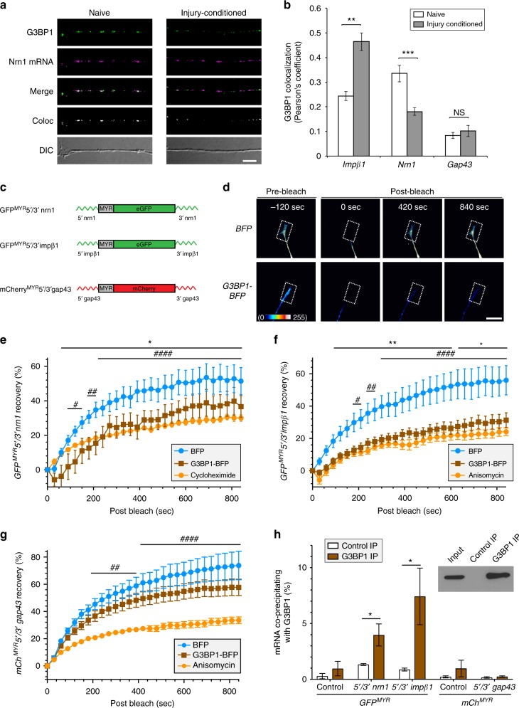 G3BP1 regulates translation of axonal mRNAs. a Images of FISH/IF for Nrn1 mRNA and G3BP1 protein are shown for axons of naive and 7 d injury-conditioned DRG neurons. Colocalization panel (Coloc) represents the mRNA:G3BP1 colocalization in a single optical plane (see Supplementary Fig. 3 for Impβ1 and Gap43 mRNA + G3BP1 colocalization images) [scale bar = 5 µm]. b Quantification of colocalizations for Nrn1, Impβ1 , and Gap43 mRNAs with G3BP1 in axons of neurons cultured from naive or 7 d injury-conditioned animals shown as average Pearson's coefficient ± SEM ( N ≥ 21 neurons over 3 repetitions; ** p ≤ 0.01 and *** p ≤ 0.005 by one-way ANOVA with Tukey HSD post-hoc). c Schematics of translation reporter constructs used in panels d – h and Supplementary Movies 1 – 3 . d Representative FRAP image sequences for DRG neurons co-transfected with GFP MYR 5′/3′nrn1 plus BFP or G3BP1-BFP. Boxed regions represent the photobleached ROIs. Videos for these images are included as Supplementary Movie 1 [scale bar = 20 µm]. e – g Quantifications of FRAP assays from DRGs expressing GFP MYR 5′/3′nrn1 ( e ) or GFP MYR 5′/3′impβ1 ( f ) or mCh MYR 5′/3′gap43 translation reporters along with G3BP1-BFP or control BFP are shown as normalized, average % recovery ± SEM ( N ≥ 11 neurons over 3 repetitions; * p ≤ 0.05, and ** p ≤ 0.01 for BFP vs. G3BP1-BFP, # p ≤ 0.05, ## p ≤ 0.01, and #### p ≤ 0.0001 for BFP vs. translation inhibitors by one-way ANOVA with Tukey HSD post-hoc). Representative videos for these FRAP sequences are included as Supplementary Movies 1 – 3 . h HEK293T cells transfected with GFP MYR 5′/3′nrn1, GFP MYR 5′/3′ impβ1, and mCh MYR 5′/3′gap43 show significant enrichment of GFP MYR 5 ′ /3 ′ nrn1 and GFP MYR 5 ′ /3 ′ impβ1 mRNAs coimmunoprecipitating with G3BP1 vs. control ( N = 4 culture preparations; * p ≤ 0.05 by Student's t -test). Western blot validating G3BP1 immunoprecipitation shown as inset. Values shown as average percent bound mRNA relative to input ± SEM