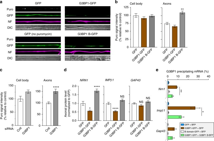 <t>G3BP1</t> acidic domain increases axonal mRNA translation and disassembles stress granules. a , b Representative images for puromycin (Puro) incorporation in DRG neurons transfected with the indicated constructs are shown ( a ). Significant increase in axonal puromycin signals in the G3BP1 B domain-expressing neurons is seen, with no significant change in the cell body puromycin incorporation ( b ; N ≥ 23 axons over three repetitions; ** p ≤ 0.01, **** p ≤ 0.0001 by one-way ANOVA with Tukey HSD posthoc) [scale bar = 5 μm]. c G3BP1 depleted DRG cultures similarly show increased puromycin incorporation in axons with no significant change in cell body puromycin incorporation ( N ≥ 23 axons over three repetitions; ** p ≤ 0.01, **** p ≤ 0.0001 by one-way ANOVA with Tukey HSD posthoc). See Supplementary Fig. 7a for representative images of these puromycin incorporation studies. d Quantitation of endogenous axonal NRN1, IMPβ1, and GAP43 protein levels in DRG cultures transfected with GFP, G3BP1-GFP, and G3BP1 B domain-GFP is shown. Axonal NRN1 and IMPβ1 but not GAP43 levels are significantly reduced in G3BP1 overexpression. G3BP1 B domain-expressing neurons show significantly higher axonal NRN1, but no change in axonal IMPβ1 and GAP43 levels ( N ≥ 33 axons over three repetitions; * p ≤ 0.05, **** p ≤ 0.0001 by one-way ANOVA with Tukey HSD posthoc). Representative images for axonal immunofluorescence and cell body NRN1, IMPβ1, and GAP43 proteins are shown in Supplementary Fig. 7b, c . e RTddPCR for axonal mRNAs co-precipitating with G3BP1-GFP in DRG neurons are shown as average % mRNA associated with G3BP1-GFP ± SEM. Nrn1 and Impβ1 mRNAs association with G3BP1-GFP significantly reduced by cotransfection with the G3BP1 B domain, but neither RNA coprecipitates with the B domain ( N = 4 culture preparations; * p ≤ 0.05, ** p ≤ 0.01 by Student's t -test for the indicated data pairs)