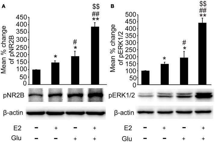 E2 potentiated glutamate-evoked pNR2B and pERK1/2 upregulation in the hippocampus. OVX rats were assigned to 4 groups for western blot analyses: (1) no injections, (2) E2 replacement, (3) glutamate injections, and (4) E2 replacement combined with glutamate injections. (A, B) Representative western blots of pNR2B and pERK1/2 after E2 and glutamate treatment. Quantification of protein levels was normalized against loading control β-actin and presented as the relative density compared with the control group. * P