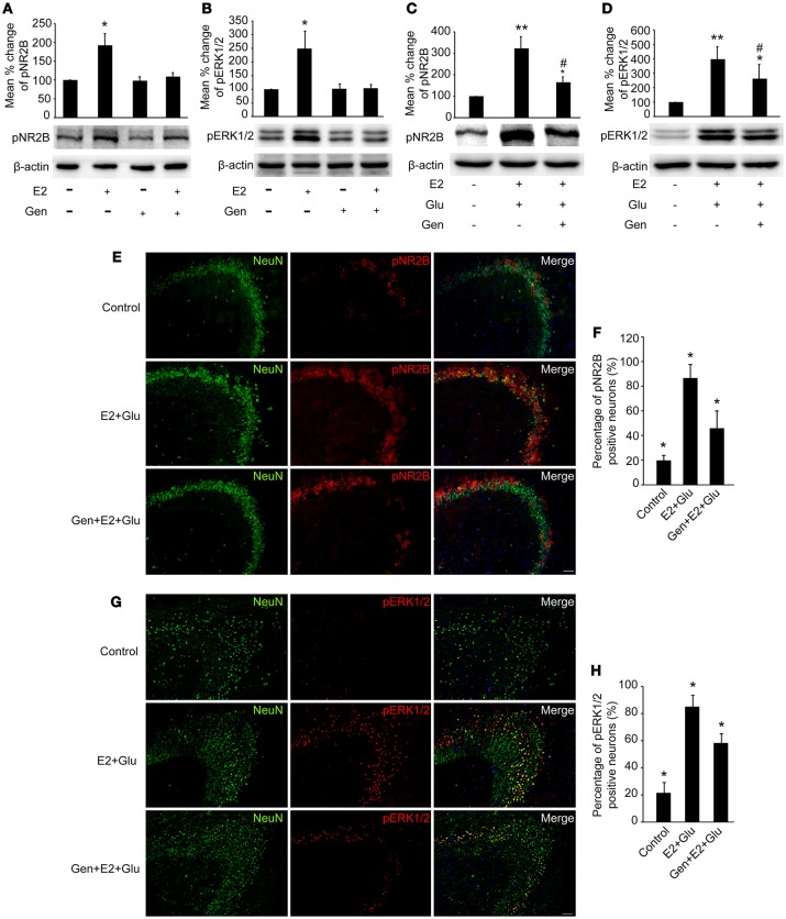 Genistein blocked E2-induced pNR2B and pERK1/2 upregulation, and partially blocked E2-potentiated glutamate-evoked pNR2B and pERK1/2 upregulation in the hippocampus. OVX rats were assigned to 4 groups for western blot analyses: (1) no injections, (2) E2 replacement, (3) genistein treatment, and (4) genistein pretreatment combined with E2 replacement. (A,B) Representative western blots of pNR2B and pERK1/2 after E2 and genistein treatment. Quantification of protein levels was normalized against loading control β-actin and presented as the relative density compared with the control group (OVX). * P