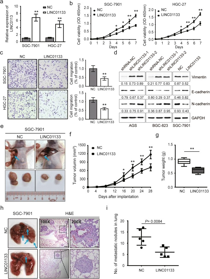 LINC01133 inhibits proliferation, migration and EMT in vitro and in vivo. a Relative expression of LINC01133 confirmed by qRT-PCR in SGC-7901 and HGC-27 cells with LINC01133 overexpression. b , c Proliferation and migration assays of SGC-7901 and HGC-27 cells with LINC01133 overexpression by the CCK-8 assay ( b) , and transwell assay ( c) . d Immunoblot assay to evaluate the expression of vimentin, E-cadherin, and N-cadherin proteins in AGS and BGC-823 cells after LINC01133 knockdown or in SGC-7901 cells after LINC01133 overexpression. The reference protein GAPDH was used as an internal control. Numbers shows the ratio of target protein/GAPDH (arbitrary unit). e The right armpit was injected with SGC-7901 cells transfected with LINC01133 expression vector or empty vector in upper panel. Representative images of xenograft tumors are indicated in the bottom panel. f , g Tumor volume and weight of the xenograft in LINC01133 overexpression groups and control group. h Left panel: representative images of lung metastatic nodules of LINC01133 overexpression groups and control group are indicated by blue arrows. Representative hematoxylin and eosin (H E) staining results of corresponding lung metastatic nodules are shown in right panel. i Statistical analysis of numbers of metastatic nodules in the lung. Error bars: mean ± SD from three independent experiments. * P