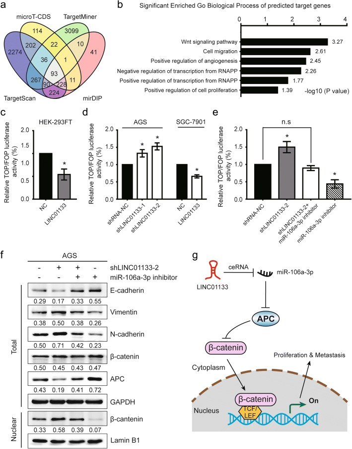 <t>LINC01133</t> attenuates the EMT and metastatic abilities of GC cells through APC/Wnt signaling pathway. a Identification of 93 commonly changed targeted mRNAs of miR-106a-3p from the four publicly profile datasets (TargetScan, microT-CDS, TargetMiner, and mirDIP). Different color areas represented different datasets. The cross areas meant the commonly changed mRNAs of miR-106a-3p. b GO analysis and significant enriched GO terms of 93 commonly changed targeted mRNAs in gastric cancer on their biological process (BP). The statistically significant results were defined with -log10 ( P value) > 1.30 as the cut-off criterion. c , d Dual luciferase assay demonstrating the effect on TOP/FOP reporter activity in HEK-293FT cells, AGS cells transfected with shLINC01133 vector or SGC-7901 cells with LINC01133 <t>overexpression.</t> Results were normalized to a Renilla transfection control. e Dual luciferase assay showing the effect on TOP/FOP reporter activity in AGS cells following reduced expression of LINC01133 and/or inhibition of miR-106a-3p. f Immunoblot assay of E-cadherin, vimentin, N-cadherin, APC, and total and nuclear β-catenin proteins in AGS cells transfected with shLINC01133–2 and/or miR-106a-3p inhibitor. Numbers showed quantification of relative protein amount. GAPDH was used as an internal control. Lamin B1 was used as an endogenous control for the cell nuclear fraction. g Schematic diagram of the regulatory mechanism of LINC01133/miR-106a-3p/APC axis in the inhibition of GC proliferation and metastasis. Error bars: mean ± SD, n = 3. * P
