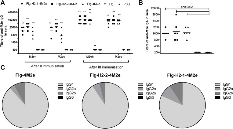Anti-M2e antibody response in sera. BALB/c mice (n = 6/group) were immunized i.n. with 10 μg/0.02 ml of Flg-HA2-2-4M2e, Flg-HA2-1-4M2e, or Flg-4M2e on days 0, 14, 28. Mice in the control groups were administered with Flg-his (10 μg/0.02 ml) or PBS. Two weeks post second boost, (A) M2e-specific IgG (M2eh and M2es) and (B) IgA response in sera were evaluated by ELISA. ( C ) Anti-M2e IgG subclasses, tested against M2e peptide in sera, were determined by ELISA. Statistical significance was determined using the Mann-Whitney U-test. The P values between immunized and control group are indicated. **—significant difference from control groups, p