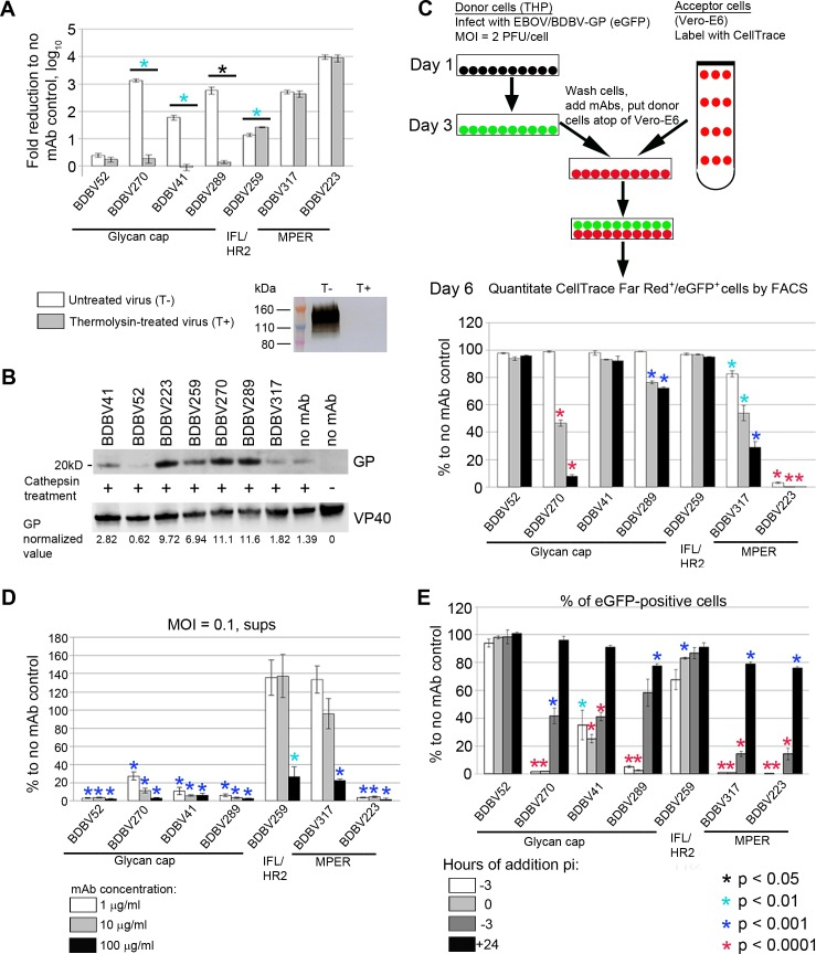Stalk- and glycan cap-specific mAbs suppress viral infection by different mechanisms. A. MPER-specific, but not glycan cap-specific mAbs neutralize thermolysin-treated virus. Bars represent fold reduction of viral titers upon incubation with mAbs, mean values of triplicate samples ± SE. P values were calculated by unpaired Student's t-test. Western blot shows elimination of the band corresponding to intact GP1 subunit after treatment of VSV/BDBV-GP particles with thermolysin. B. MAbs do not prevent cathepsin cleavage of GP. VLPs were incubated with indicated mAbs, treated with cathepsins B/L or mock-treated where indicated, and separated on acrylamide gel. The 20 kDa bands corresponding to cleavage product are shown. Numbers below the western blots represent GP values normalized to VP40 values. C. Inhibition of cell-to-cell virus transmission by mAbs. Top, schematic representation of the assay procedure. Bottom, assay results. Bars indicate percent of CellTrace Far Red + /eGFP + cells out of total CellTrace Far Red + population normalized to no mAb control, mean values of triplicate samples ± SE. P values were calculated by unpaired Student's t-test, compared to no mAb control. The mAb concentrations are indicated in panel D. D. Glycan cap-specific mAbs are efficient inhibitors of virus egress. Bars indicate viral RNA load, determined by digital droplet RT-PCR, in the supernatants of cells infected with EBOV/BDBV-GP normalized to no mAb control, mean values of triplicate samples ± SE. P values were calculated by unpaired Student's t-test, compared to no mAb control. E. MPER-specific mAbs are more effective than glycan cap-specific mAbs when added after infection. MAbs were added at different time points after inoculation of cells with EBOV/BDBV-GP. At 48 hours after inoculation, cells were fixed and analyzed by flow cytometry. Bars indicate percentages of eGFP + cells normalized to no mAb control, mean values of triplicate samples ± SE. P values were calculated by u