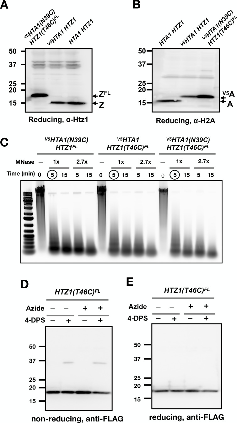 Control experiments for yeast VivosX. ( A,B ) Immunoblots showing the different effects of the FLAG and <t>V5</t> epitope tags on the SDS-PAGE mobility of the H2A.Z and H2A histones. ( C ) <t>DNA</t> samples purified from chromatin isolated from the indicated strains before and after MNase digestion were analyzed by agarose gel electrophoresis and SYBR Green staining. 1x MNase represents 0.08 U/µL of MNase. Circled lanes: MNase digestion conditions selected for the experiment in Figure 3D . ( D,E ) Logarithmically growing HTZ1(T46C) FL cells were fixed with sodium azide (0.1%) for 15 min on ice before treatment with and without 4-DPS (180 µM) for 20 min. The cells were then fixed with TCA fixation and the proteins extracted and analyzed as described for Figure 1D .