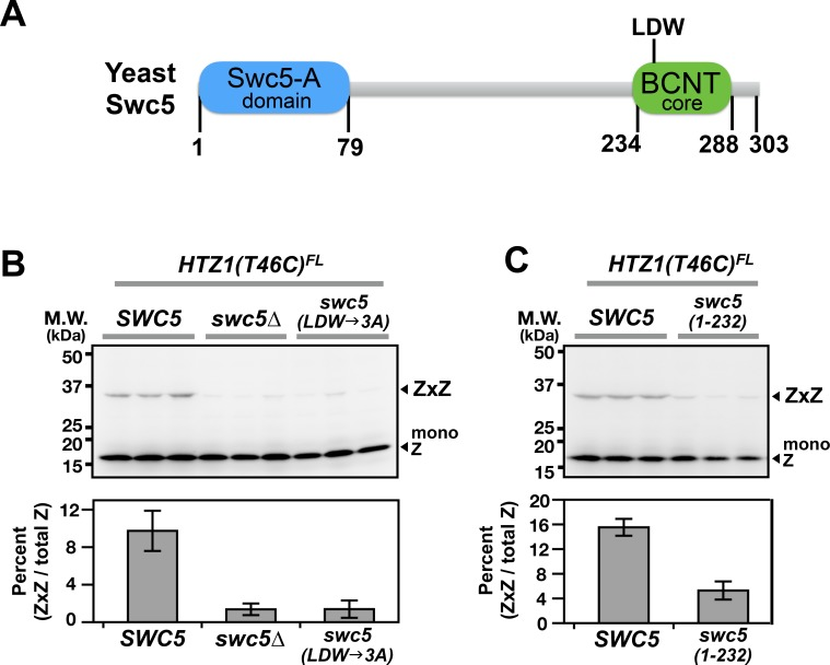 Domain analysis of Swc5 using H2A.Z VivosX. ( A ) The cartoon depicts the domain organization of yeast Swc5 ( Sun and Luk, 2017 ). ( B,C ) The yeast strain, HTZ1(T46C) FL swc5∆ , was transformed by a single-copy plasmid containing either the wild-type SWC5 or the indicated SWC5 mutants or by the control vector ( swc5∆ ). Top panels: Each strain was represented by three independent transformants and analyzed by VivosX in parallel. Htz1(T46C) FL and its crosslinked (ZxZ) adducts was detected by anti-FLAG immunoblotting. Bottom panels: Quantification of the immunoblots above. Bars and error bars represent the means and standard deviations of three biological replicates.