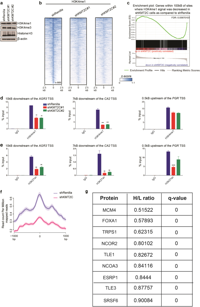 KMT2C loss results in site-specific loss of H3K4me1 and H3K27ac at ERα enhancers. a Immunoblot; β-actin used for loading control. b Normalized heatmaps for H3K4me1 occupancy in shRenilla, shKMT2C#1 and #2 cells among the 869 differential sites. Heatmaps centered at the peak summit. All cells are cultured in full serum containing media c GSEA of 3857 genes significantly downregulated in MCF7 shKMT2C cells ( p -val