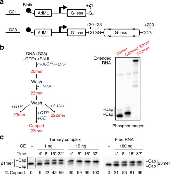 Co-transcriptional capping activation in a defined enzyme system. a Biotinylated DNA templates used for promoter-dependent transcription. Both contain the Adenovirus 2 Major Late core promoter (AdML) followed by one (G21) or two (G23) G-less cassettes. b 23mer transcripts in washed ternary complexes were prepared according to the diagram and incubated with GTP (lane 1), GTP and 5 ng of capping enzyme (CE) (lane 2), or ATP, CTP, and UTP (lane 3). In this and subsequent figures, radiolabeled transcripts were resolved by denaturing gel electrophoresis and detected using a phosphorimager. c Kinetics of co-transcriptional capping and capping of free RNA. Free RNA or washed ternary complexes containing 21mers were incubated for varying lengths of time with 50 µM GTP and the indicated amounts of capping enzyme (CE). % Capped RNA is the quantification of a single representative experiment