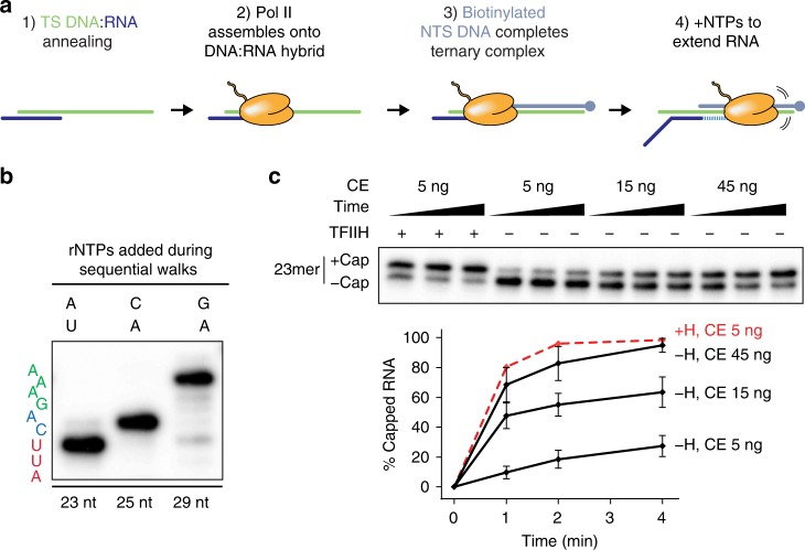 """TFIIH-dependent activation of co-transcriptional capping in artificial ternary complexes assembled on DNA:RNA scaffolds. a Scheme for assembly of artificial ternary elongation complexes on DNA:RNA scaffolds. See text and """"Methods"""" for details. b Representative gel image showing step-wise increase of RNA length following addition of appropriate combinations of rNTPs. 20-nt synthetic RNA in artificial ternary complexes was extended to position +23 with 5 µM ATP and 10 µCi α- 32 P-UTP (first lane), washed and walked to position +25 with 20 µM CTP and ATP (second lane), and finally washed and walked to position +29 with 20 µM ATP and GTP (last lane). Sequence on left denotes RNA sequence from +21 (bottom) to +29 (top). c 23mers in artificial ternary complexes were incubated with buffer or 300 ng of purified TFIIH for 10 min, washed, and incubated for 1, 2, or 4 min with 50 µM GTP and the indicated amounts of capping enzyme. Graph shows mean and range of data from two independent reactions"""