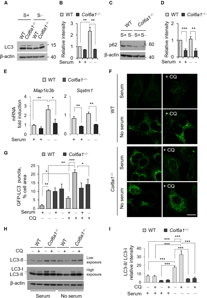 The autophagic flux is impaired in Col6a1 -/- fibroblasts. (A–D) Western blot analysis of LC3 and p62 in total cell extracts from WT and Col6a1 -/- fibroblasts in complete medium (S+) or following serum withdrawal for 3 h (S–). (B,D) Show respectively the LC3-II/LC3-I ratio (B) and the p62/β-actin ratio (D) , as determined by densitometric quantification of the western blots as in (A,C) . Values for WT fibroblasts in complete medium were arbitrarily set to 1. Data represents the mean of at least three independent experiments. (E) qRT-PCR analysis of Map1lc3b and Sqstm1 mRNA levels. Data represents the mean of at least three independent experiments. (F) Fluorescence microscopy detection of LC3-positive puncta in WT and Col6a1 -/- fibroblasts derived from Col6a1 +/+ ::GFP-LC3 and Col6a1 -/- ::GFP-LC3 mice, respectively, and maintained in complete medium or subjected to serum starvation for 3 h. LC3 puncta (autophagosomes) accumulate in Col6a1 -/- fibroblasts both in complete medium and serum starved conditions. Scale bar, 25 μm. (G) Quantification of GFP-LC3 puncta per cell area, as shown in (F) . (H) Western blot analysis of total cell extracts from WT and Col6a1 -/- fibroblasts in complete medium (S+) or following serum withdrawal for 3 h (S–). The autophagic flux, as determined by the analysis of LC3 lipidation in the absence or presence of 50 μM CQ treatment, is shown. (I) Densitometric quantification of the relative intensity of LC3-II/LC3-I ratio of three independent western blot experiments, as in (H) . Data were analyzed by ANOVA test with Bonferroni correction. ∗ P