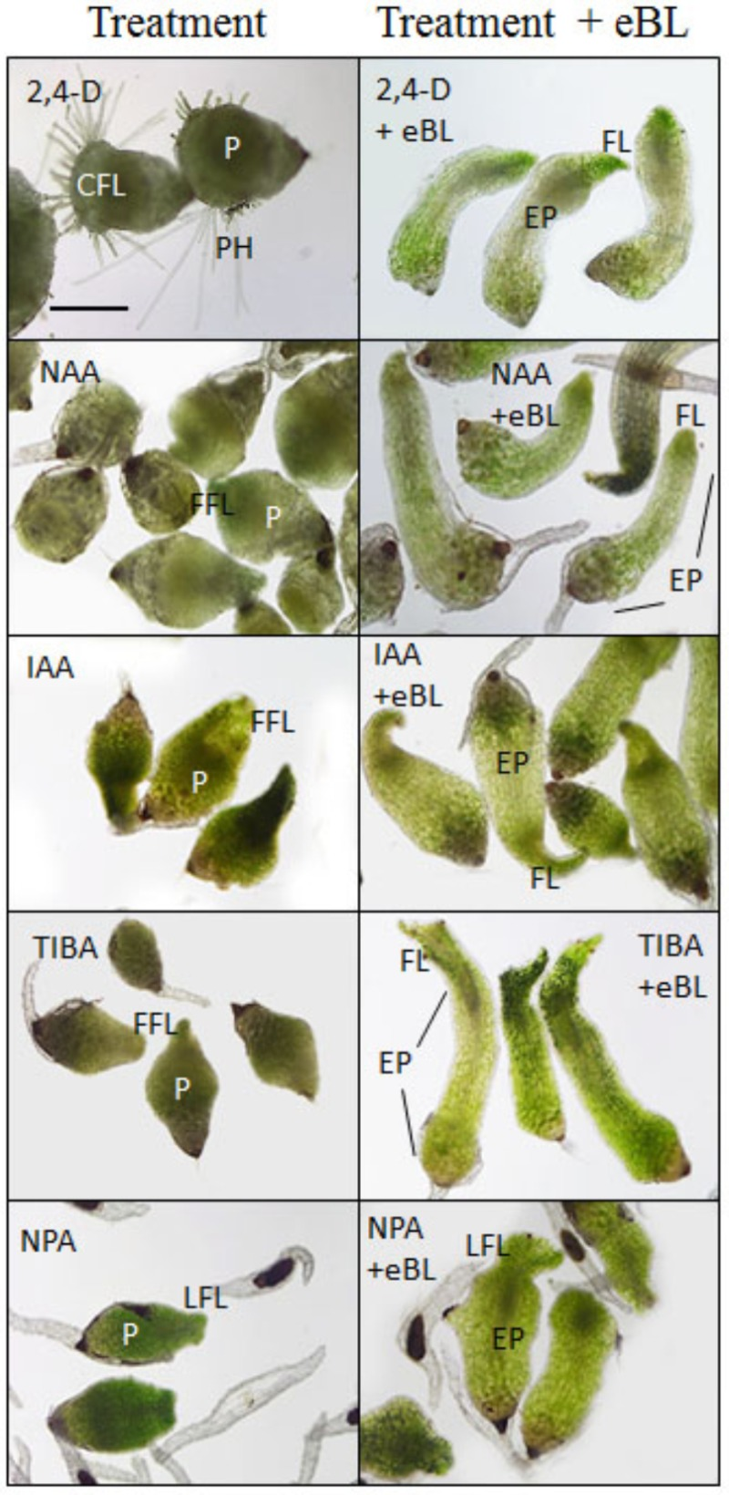 Seedling morphology for 10 DAC protocorms cultured with PAT inhibitors or growth inhibiting levels of auxin, with or without application of epibrassinolide (eBL) for an additional 15 days (25 DAC). 2,4-D, 2,4-dichlorophenoxyacetic acid; NAA, 1-naphthaleneacetic acid; IAA, indoleacetic acid; TIBA, 2,3,5-Triiodobenzoic acid; <t>NPA,</t> N <t>-1-naphthylphthalamic</t> acid. P, protocorm; EP, elongated protocorm; FL, first leaf; LFL, lobed first leaf; CFL, callused first leaf; FFL, fleshy first leaf; PH, protocorm hairs. Scale bar = 400 μm.