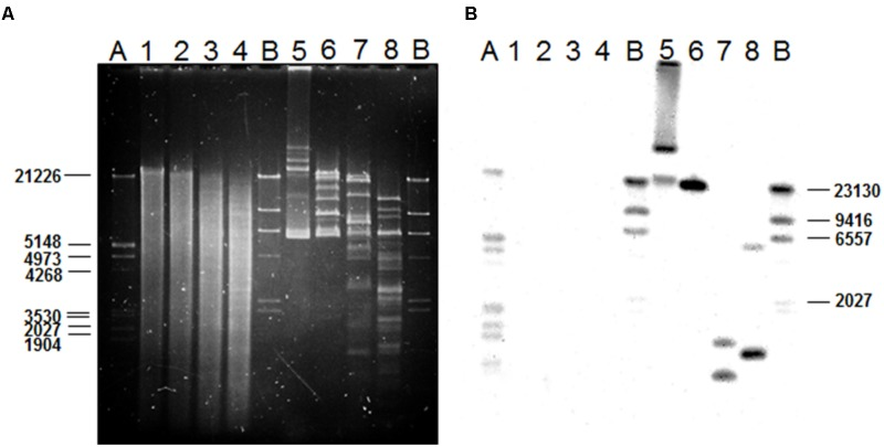 Gel electrophoresis of chromosomal and plasmid DNA from L. plantarum LL441 (A) and Southern blot results (B) of the gel in A after transferring of the DNA to a membrane and hybridizing with a digoxigenin-labeled probe (Roche) based on an internal 1-kbp fragment of the lanM gene ( Figure 1 ) amplified by PCR. Order of the samples: 1, undigested chromosomal DNA from LL441; 2, 3, and 4, chromosomal DNA digested with PstI, EcoRI, and HindIII, respectively; 5, undigested plasmid DNA from LL441; 6, 7, and 8, plasmid DNA digested with PstI, EcoRI, and HindIII, respectively. A and B, pre-hybridized molecular weight markers: lambda DNA digested with PstI and lambda DNA digested with HindIII, respectively.
