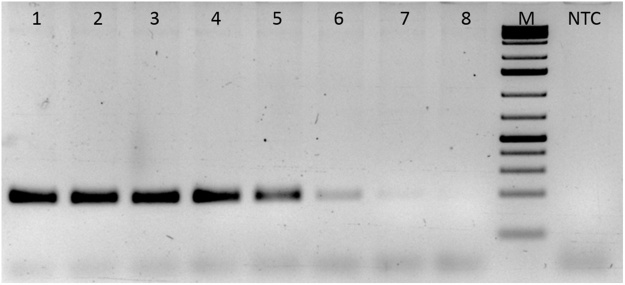 Gradient <t>PCR</t> for <t>F13A1</t> (F13) gene. Gradient PCR for F13 gene was carried out using specific primers as outlined in the M M section. Lane 1: 50 °C, lane 2: 51 °C, lane 3:52.9 °C, lane 4: 55.7 °C, lane 5: 59.1 °C, lane 6: 62 °C, lane 7 63.8 °C, lane 8: 65 °C. The F13 PCR showed maximum signal between 50–52.9 °C.M: DNA molecular weight maker (75 bp–10 Kb).