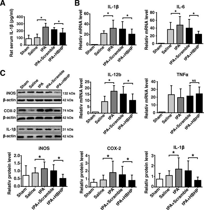HBHP alleviated inflammatory reactions in tPA-treated stroke rats. a ELISA data of serum IL-1β levels in stroke rats at 8 h after ischemia, n = 5–7. b Quantitative real-time PCR analysis of mRNA expressions of IL-1β, IL-6, IL-12b, and TNF-α in the peri-infarct cortex from 4.5 h MCAO rats or in the same regions of sham-operated rats, n = 3–4. c Western blot and quantified data of iNOS, COX-2, and IL-1β in ischemic ipsilateral hemispheres at 8 h after ischemia, n = 3–4. NS: not significant; * P
