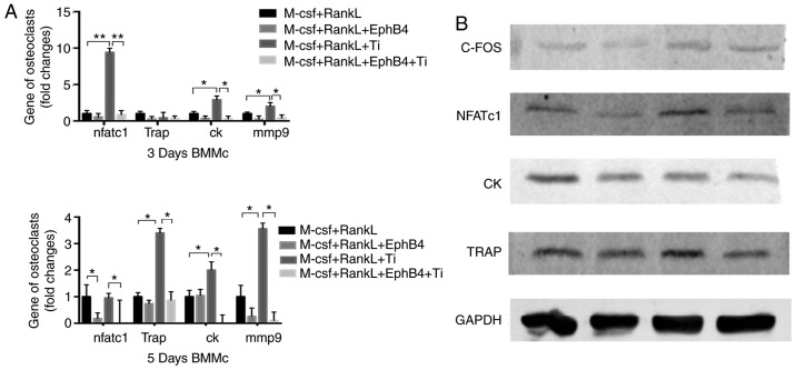 (A and B) EphB4-Fc inhibited the NFATc1 signaling pathway caused by Ti and inhibited osteoclast-associated genes and protein expression. The mRNA expression of NFATc1, TRAP, MMP9 and CK was detected by reverse transcription quantitative polymerase chain reaction on days 3 and 5, and the protein expression of NFATc1, C-FOS, CK and TRAP was detected by western blot analysis on day 3. Data are presented as mean ± standard deviation. * P