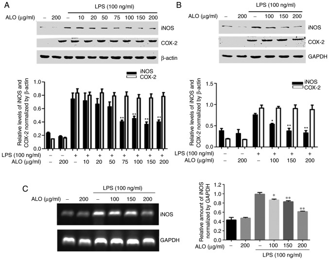 ALO inhibits LPS-induced expression of iNOS, but not COX-2. RAW264.7 cells were pre-treated with (A) different doses of ALO (10, 20, 50, 75, 100, 150 and 200 µ g/ml) for 2 h or (B) 100, 150 and 200 µ g/ml of ALO for 2 h, then stimulated with LPS (100 ng/ml) for 16 h. Following total protein extraction, iNOS and COX-2 levels were determined by western blot analysis. GAPDH or β-actin was used as a control. (C) RAW264.7 cells were pre-treated with ALO for 2 h, then treated with LPS for 6 h. Total cellular RNA was extracted using TRIzol ® reagent, and reverse transcription-polymerase chain reaction was used to quantify the iNOS transcripts. GAPDH was used as a control. Data are presented as mean ± standard deviation. * P
