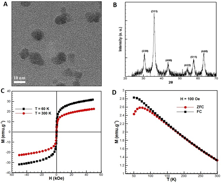 (A) TEM micrographs of the Fe 3 O 4 <t>nanoparticles.</t> (B) <t>XRD</t> pattern of Fe 3 O 4 nano particles. (C) Variation of magnetization of the Fe 3 O 4 nanoparticles with the applied magnetic field at 300 K and 60 K. (D) Variation of magnetization of the Fe 3 O 4 nanoparticles with temperature at 100 Oe with ZFC and FC.