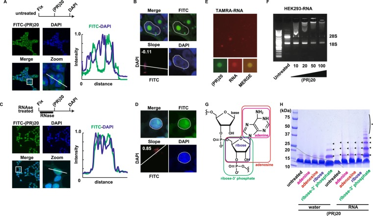 Poly-PR interacts with RNA. ( A ) Confocal imaging of HEK293 cells fixed/permeabilized and stained with FITC-(PR)20 in the absence of pretreatment of RNase A. ( B ) Colocalization analysis of signals from DAPI staining and FITC-(PR)20 in the HEK293 cells in the absence of pretreatment of RNase A. ( C ) Confocal imaging of HEK293 cells fixed/permeabilized and stained with FITC-(PR)20 in the presence of pretreatment of RNase A. ( D ) Colocalization analysis of signals from DAPI staining and FITC-(PR)20 in the HEK293 cells in the presence of pretreatment of RNase A. ( E ) Liquid-liquid phase separation of tetramethylrhodamine (TAMRA)-labeled random 15-mer RNA by FITC-(PR)20. ( F ) Agarose gel electrophoresis of human ribosomal RNA mixed with (PR)20 peptide at indicated concentration (μM). ( G ) Structure of RNA (base: adenine). ( H ) Crosslinking analysis of HA-(PR)20 peptide mixed with adenine, adenosine, ribose or ribose-phosphate in the presence or absence of RNA (poly-A). Arrowheads indicate crosslinked oligomer of HA-(PR)20 peptides. *polymerized HA-(PR)20.