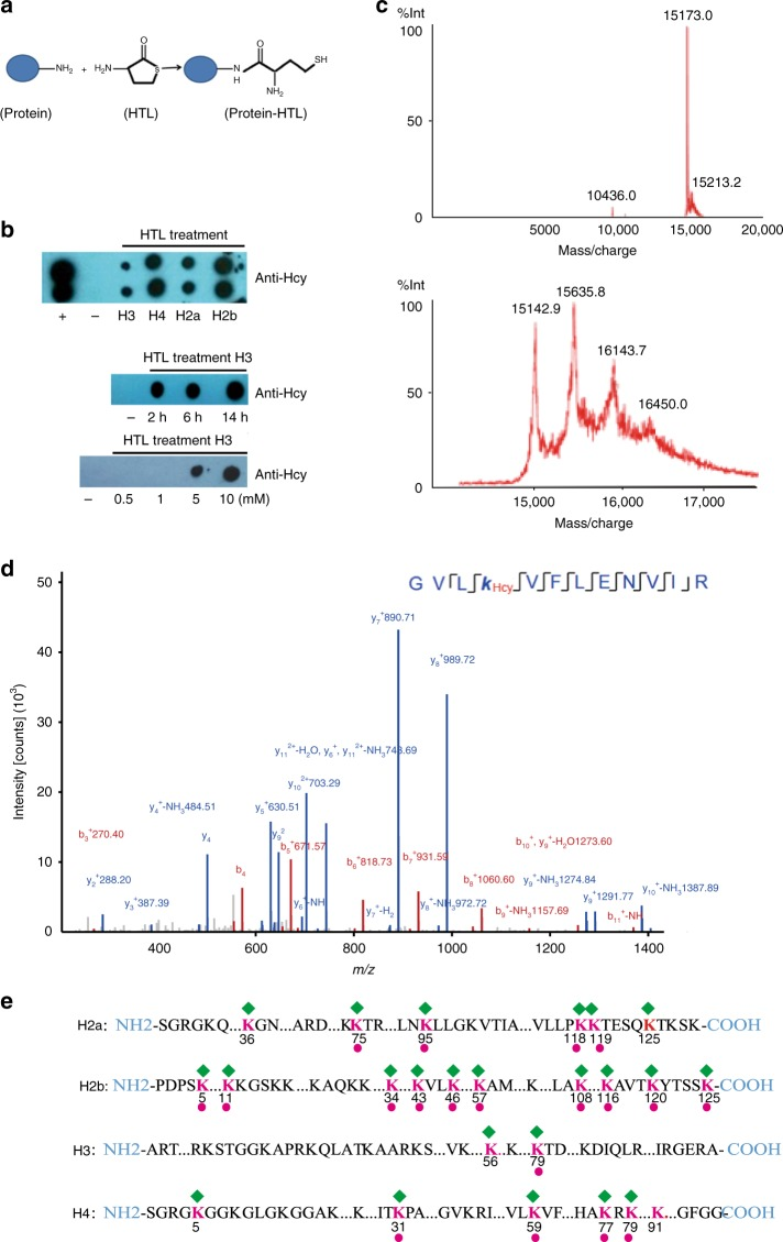 Direct in vitro histone homocysteinylation by HTL. a Schematic illustration of protein modification by HTL. b Dot-blot analysis of histone homocysteinylation by HTL. The unmodified histones H3, H4, H2a, and H2b expressed from E. coli were used. Top panel: four histones were incubated with 5 mM HTL for 2 h and histone homocysteinylation was detected using anti-Hcy antibodies. ( + : positive control, tubulin antibody diluted 1:1000 was used as the positive control; – : negative control, sodium phosphate buffer was used as the negative control); Middle panel: histone H3 was treated with 5 mM HTL for 2, 6, and 14 h, respectively, and histone homocysteinylation was detected using anti-Hcy antibodies. Bottom panel: histone H3 was treated with 0.5 mM, 1 mM, 5 mM, and 10 mM HTL respectively for 2 h and histone homocysteinylation was detected using anti-Hcy antibodies. c MALDI analysis of unmodified H3 from E. coli with (bottom) or without (top) in vitro HTL treatment. The undigested H3 display a major peak of about 15KD. Additional major peaks greater than 15KD are seen in HTL-treated H3 samples. The difference in molecular mass between the adjacent two peaks is in the proximity of 3 Hcy modifications, indicating that multiple, simultaneous KHcy modifications may exist on H3 during HTL treatment. The x and y axes represent m / z and relative ion intensity, respectively. d A typical HPLC-MS/MS spectra of a tryptic peptide 'GVLK Hcy VFLENVIR' derived from HTL-treated H4 with homocystylation at H4K59 site. The x and y axes represent m / z and relative ion intensity, respectively. A series of b- and y-type homocysteinylation fragment ions are evident which not only provide reliable sequence information, but also indicate an unambiguous +174.04600 Da shift for Hcy. e Illustration of histone homocysteinylation sites identified by HPLC-MS/MS analysis on unmodified core histones treated with HTL. The green diamond shape depicts homocysteinylation sites in core histones (H3, H4, H2a, and H2b). The number underneath each red lysine residue (K) represents the position of the particular lysine residue within each respective histone. Homocysteinylation sites, present both naturally in normal human brain samples (Fig. 1b ) and after in vitro HTL treatment are marked with a red dot