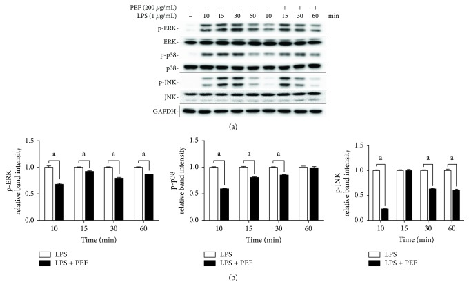 Effect of PEF on LPS-stimulated phosphorylation of MAPKs in RAW 264.7 macrophages. (a) RAW 264.7 macrophages were preincubated with 200 μ g/mL PEF for 2 h, and then, the total protein was harvested at different time points (10, 15, 30, and 60 min) after stimulation with LPS (1 μ g/mL), and the protein levels of p-ERK, ERK, p-p38, p38, p-JNK, and JNK were determined by Western blot analysis. GAPDH was used as an endogenous control. (b) Relative intensity of the immunoreactive bands was analyzed, and results are shown as the mean ± SD ( n = 3). Statistical difference between two groups in the presence and absence of PEF was evaluated by Student's t -test. a p
