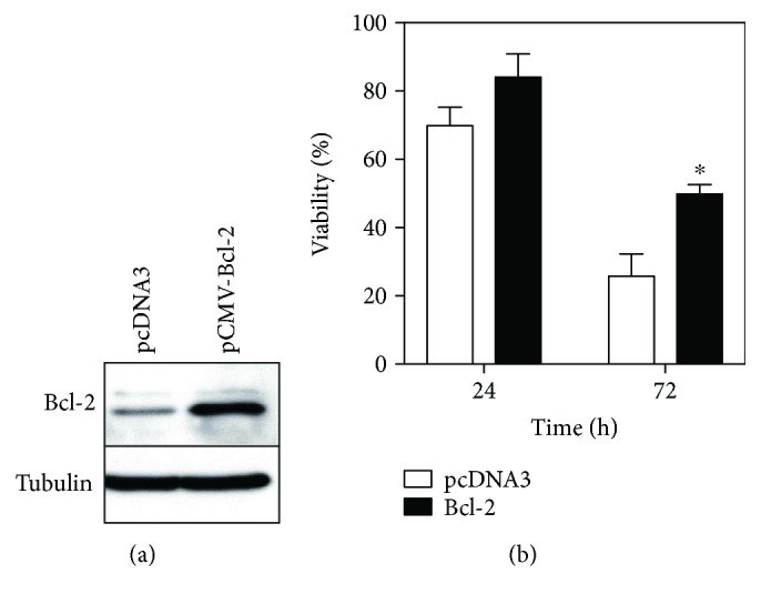 Overexpression of Bcl-2 attenuates IFN γ - and TNF α -induced cytotoxicity in MC3T3-E1 cells. (a) Western blot for Bcl-2 in cells stably expressing Bcl-2. Total cell lysates were prepared from cells stably transfected with control vector (pcDNA3) or a Bcl-2 expression vector (pCMV-Bcl-2), of which 20 μ g protein was subjected to 12% SDS-PAGE and analyzed with antibodies to Bcl-2. The blot was stripped and reprobed with anti-tubulin to confirm loading of equal amounts of total protein. (b) Effect of IFN γ and TNF α costimulation on the viability of cells stably expressing Bcl-2. Cells stably transfected with control vector or pCMV-Bcl-2 were seeded in 96-well plates, incubated for 5 days to form a confluent monolayer, and costimulated with 10 ng/ml IFN γ and 5 ng/ml TNF α . Cell viability was monitored over time. Data represent the mean ± SEM of three independent experiments. ∗ p