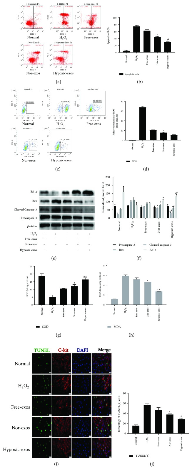 Exosomes released from hypoxia-pretreated BMSCs protect CSCs from oxidative stress injury. CSCs cultured with 100 μ M H 2 O 2 were pretreated with BMSC-exos (400 μ g/ml) for 24 h and then subjected to analysis. (a) Representative dot plots of cell apoptosis after Annexin V/PI dual staining are shown. The left upper quadrant (% gated) shows necrotic cells (Annexin V−/PI+); the upper right quadrant (% gated) shows late apoptotic cells (Annexin V+/PI+); the left lower quadrant (% gated) shows live cells (Annexin V−/PI−); and the right lower quadrant (% gated) shows early apoptotic cells (Annexin V+/PI−). These cells were measured for comparison. (b) The percentage of apoptotic cells represents both early and late apoptotic cells. Compared with the H 2 O 2 -treated group, the BMSC-exo-treated group displayed a decreased percentage of apoptotic cells. In addition, Hypoxic-exos more markedly decreased apoptosis than did Nor-exos or Free-exos. (c) The intracellular ROS level was determined by FCM. The P2 percentage indicates the proportion of cells with increased ROS production, with signals above background 2′,7′-dichlorofluorescein (DCF) fluorescence levels. (d) Compared with the H 2 O 2 -treated group, the BMSC-exo-treated group had a significantly decreased intracellular ROS fluorescence intensity. In addition, Hypoxic-exos decreased ROS fluorescence to a greater degree than did Nor-exos or Free-exos. (e and f) The effects of BMSC-exos on cell apoptosis-related genes, such as procaspase-3, cleaved caspase-3, Bax, and Bcl-2 were detected by immunoblotting. Compared with the H 2 O 2 -treated cells, the BMSC-exo-treated cells had substantially decreased levels of cleaved caspase-3 and Bax and increased levels of Bcl-2. Additionally, Hypoxic-exos more markedly affected these protein levels than did Nor-exos. (g and h) Graph represents the SOD and MDA levels in CSCs; compared with H 2 O 2 group, Hypoxic-exos inhibited MDA levels and increased SOD production. (i) Representat