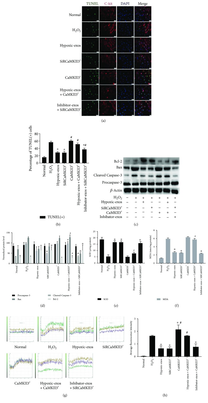 Change in CaMKII expression during BMSC-exo-induced antioxidative injury in CSCs under oxidative stress. Cultured CSCs were transfected CaMKII3′ overexpression cDNA or siRCaMKII3′ for 48 h. Then, the cells were treated with BMSC-exos under different conditions for 24 h and/or cultured with 100 μ M H 2 O 2 for 2 h. (a) Representative immunofluorescence staining for TUNEL (green), C-kit (red), DAPI (blue), and merged images. Photos were randomly captured using a fluorescence microscope. Scale bar = 20 μ m. (b) The panel shows the percentages of TUNEL-positive cells. Compared with H 2 O 2 , SiRCaMKII3′ could significantly decreased the percentage of TUNEL-positive cells. Additionally, compared with Hypoxic-exos, CaMKII3′ could partially increase the percentage of TUNEL-positive cells. (c and d) The expression levels of procaspase-3, cleaved caspase-3, Bax, and Bcl-2 were detected by immunoblotting. Compared with Hypoxic-exos or SiRCaMKII3′ group, the CaMKII3′ group displayed substantially increased cleaved caspase-3 and Bax expression and decreased Bcl-2 expression. In addition, the Hypoxic-exo-induced protective effect against CSC apoptosis under oxidative stress was suppressed by CaMKII3′ overexpression. (e and f) Graph represents the SOD and MDA levels in CSCs; compared with H 2 O 2 group, Hypoxic-exos or SiRCaMKII3′ inhibited MDA levels and increased SOD production, while CSCs were transfected with CaMKII3′ increased MDA levels and suppressed SOD production. (g) Transient intracellular Ca 2+ measurement assays with Fluo-8/AM fluorescent labeling were used to detect Ca 2+ concentration in CSCs exposed to different treatments. (h) Compared with that in the H 2 O 2 or CaMKII3′ group, the fluorescence intensity of intracellular Ca 2+ was significantly decreased in the Hypoxic-exos or siRCaMKII group. Furthermore, CaMKII3′ overexpression could suppress the Hypoxic-exo-induced protective effect against CSC oxidative stress injury. n = 3; ∗ P