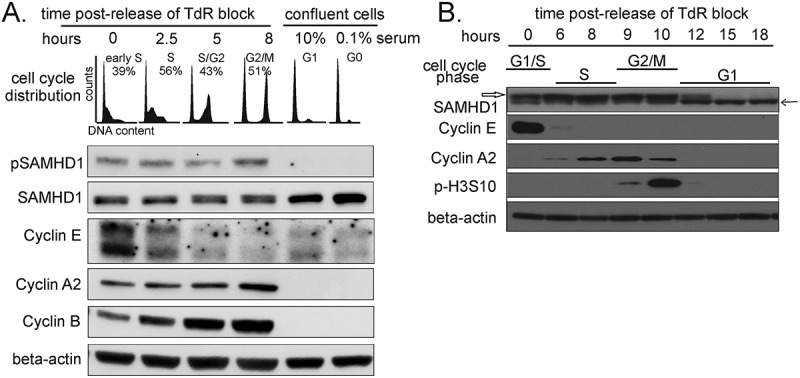 Phosphorylation status of SAMHD1 during cell cycle progression in normal human fibroblasts (A) and transformed cells (B). A . Cycling lung fibroblasts were synchronized by double thymidine block and released. Confluent fibroblasts were maintained for 48 h in medium with 10 or 0.1% serum. The top panel shows the cell cycle profiles at the indicated times after release and at confluence. The lower panels show the expression levels of SAMHD1 detected by an antibody directed against phosphoT592 (pSAMHD1) and a mouse monoclonal antibody recognizing both the phosphorylated and non- phosphorylated forms of SAMHD1 (SAMHD1). Cyclin E, A2 and B were used as cell cycle markers and beta-actin as a loading control. B . Whole cell extracts of HeLa cells synchronized by double thymidine block were analyzed for expression of SAMHD1 with the same mouse monoclonal recognizing both forms of SAMHD1. The phosphorylated form appears as a slower migrating band (empty arrow) compared to the non-phosphorylated form (black arrow). The cell cycle markers cyclin E, cyclin A and histone H3-S10-phosphorylation are those analyzed in the same experiment and data for these markers was published in Figure 2B of Kara et al [ 25 ].