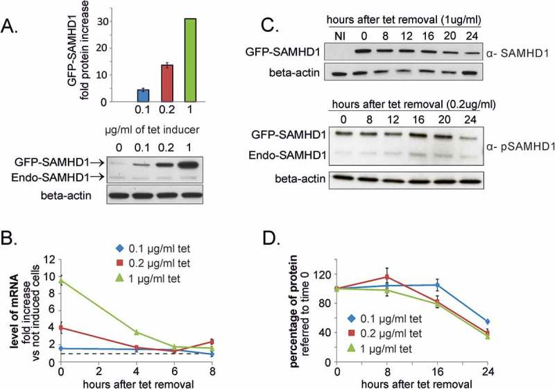 Turn-over of SAMDH1 in proliferating U2OS cells. A . The expression of GFP-tagged SAMHD1 was induced in U2OS cells stably transfected with a tetracyclin-inducible vector by treatment with different doses of tetracycline (tet) for 24 h and analyzed by immunoblotting. The lower panel reports a representative immunoblot of endogenous SAMHD1 (Endo-SAMHD1) and ectopically expressed GFP-SAMHD1. B . After tet removal the decline of the induced mRNA was followed by RT-PCR. The level of mRNA is reported as fold increase relative to that of not induced transfected cells (dashed line). C . The amount of GFP-SAMHD1 was determined by immunoblotting using antibodies against SAMHD1 and GFP. Representative immunoblots of total GFP-SAMHD1 (α-SAMHD1) and phosphorylated GFP-SAMHD1 (α-pSAMHD1) in samples induced for 24 h with 1 µg/ml tet and chased in the absence of tet for the indicated times. Beta actin: loading control. NI = not induced. D . Densitometric analysis was performed for GFP-SAMHD1, normalized for beta-actin and expressed as percentage relative to the protein level at 0 time. Bars in A.B. and D: Mean ± standard error, n = 3.