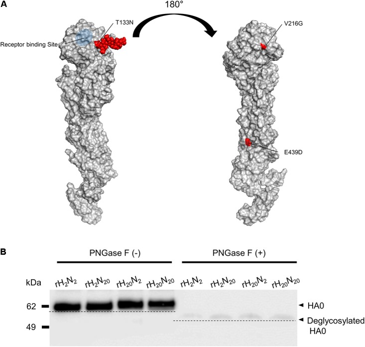 Additional N-glycosylation of the 01310-CE20 HA protein. (A) Structural model of the 01310-CE20 HA protein. The predicted structural model was derived from homology modeling with I-TASSER, and a glycan molecule ( red ) was manually added at position 133 using the Glyprot webserver. (B) Different molecular weights of HA1 protein due to additional N-glycosylation at position 133. Western blot analysis was performed using rH 20 N 20 antisera as the primary antibody, and the blots were visualized using an <t>ImageQuant</t> <t>LAS</t> 4000 Mini.