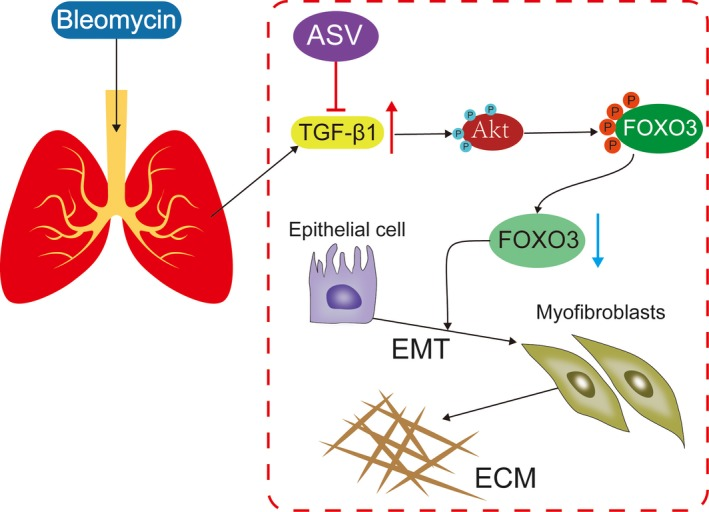 Astragaloside IV protected against bleomycin‐induced pulmonary fibrosis through suppressing TGF ‐β1‐mediated EMT . Astragaloside IV inhibited TGF ‐β1 induced activity of PI 3K/Akt pathway independent inactivity of FOXO 3a in pulmonary epithelial cell