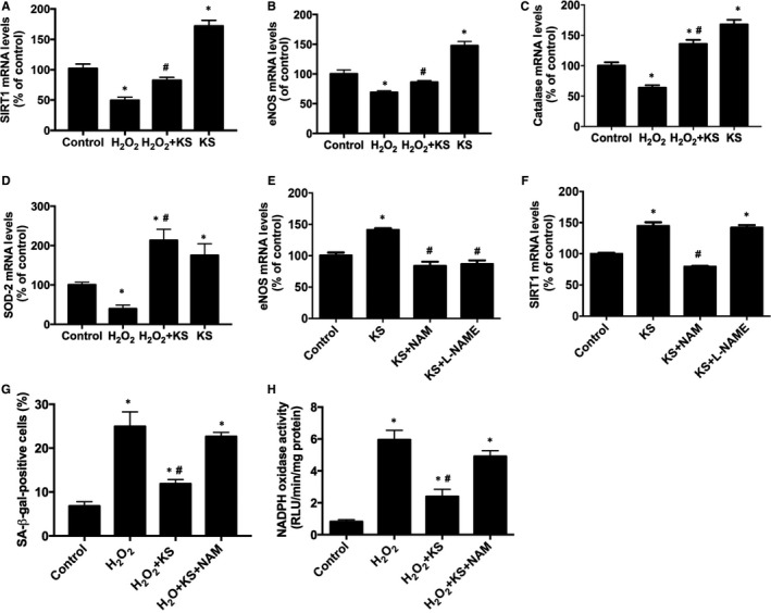 Kallistatin ( KS ) inhibits H 2 O 2 ‐induced senescence and oxidative stress through SIRT 1‐ eNOS pathway in human endothelial cells. The effect of KS on SIRT 1, eNOS , catalase and SOD ‐2 mRNA levels analysed by qRT ‐ PCR (A‐D). The effects of SIRT 1 inhibitor NAM and NOS inhibitor L‐ NAME on KS ‐mediated eNOS and SIRT 1 expression (E, F). The effect of NAM on KS ‐regulated SA ‐β‐gal activity (G) and NADPH oxidase activity (H). Values are expressed as mean ± SEM. (n = 3 in each group). * P
