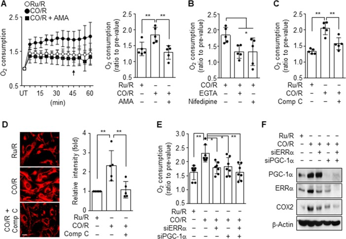 CO/R enhances oxygen consumption. ( A-D ) Astrocytes were subjected to Ru/R or CO/R and further incubated with or without 0.5 μM Antimycin A (AMA), 2 mM EGTA, 10 μM Nifedipine, or 10 μM Compound C (Comp C) for 4 h. UT indicates untreated control cells. ( A-B ) Mitochondria oxygen consumption was detected by the Oxygen Consumption Rate Assay Kit, and the quantified graph was generated at 45 min ( n = 5). ( C ) Mitochondrial oxygen consumption was detected by the Oxygen Consumption Rate Assay Kit ( n = 5). ( D ) Mitochondrial biogenesis was determined by staining with MitoTracker ( n = 5). ( E-F ) Astrocytes were transfected with 50 nM control, ERRα or PGC-1α siRNA, and subjected to Ru/R or CO/R. ( E ) Oxygen consumption was measured and quantified at 45 min ( n = 7). ( F ) Indicated proteins were detected via western blotting. * P