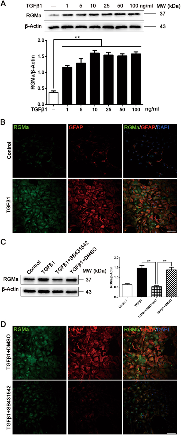 TGFβ1 stimulates RGMa protein expression in primary astrocytes. a Western blot analysis for RGMa expression in primary astrocytes treated with or without TGFβ1 (1–100 ng/ml) for 3 days ( n = 3). b Representative fluorescence photographs of RGMa (green) and GFAP (red) expression in cultured astrocytes in the absence or presence of TGFβ1 (10 ng/ml for 3 days). Similar results were obtained using two additional cell batches. c Western blot analysis for RGMa expression in astrocyte cultures pretreated with or without SB431542 (30 μM for 1 h) before TGFβ1 (10 ng/ml for 3 days) stimulation ( n = 3). d Immunostaining of RGMa (green) and GFAP (red) expression in cultured primary astrocytes pretreated with or without SB431542 (30 μM for 1 h) before TGFβ1 (10 ng/ml for 3 days) stimulation. One representative panel per group out of three independent cell cultures is shown. Scale bar, 100 μm. Data in bar graphs are means ± SEM a and c ; one-way ANOVA with Bonferroni post hoc test, ** p
