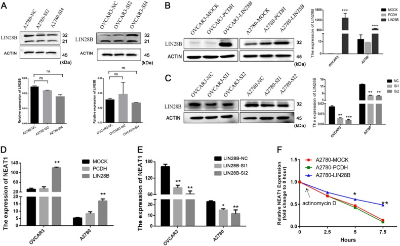 LIN28B enhances the stability of NEAT1. a Immunoblotting to evaluate the LIN28B protein levels after NEAT1 downregulation in OVCAR3 and A2780 cells. b The qRT-PCR analysis of LIN28B interference in EOC cells. c The EOC cell lines A2780 and OVCAR3 were transfected with either LIN28B or a vector control, and LIN28B overexpression was verified by qRT-PCR. Relative RNA levels of NEAT1 in OVCAR3 and A2780 cells with LIN28B knockdown ( d ) or overexpression ( e ) based on qPCR. f The half-life of NEAT1 after treatment with 2.5 μM actinomycin D for the indicated times with LIN28B overexpression in A2780 cells. * P