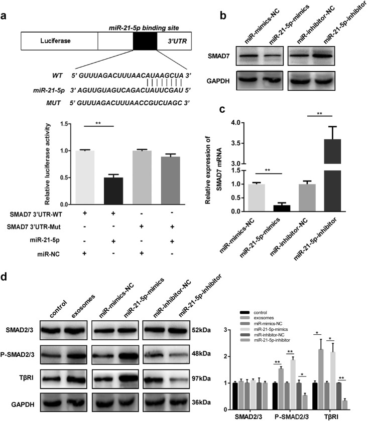 MiR-21-5p directly targets SMAD7-3′-UTR in HMrSV5 cells. a Luciferase reporter assay results indicated that miR-21-5p directly bind to SMAD7 3'UTR. b Western blot was performed to measure the protein levels of SMAD7 in different groups. c <t>qRT-PCR</t> detection of SMAD7 mRNA in HMrSV5 cells transfected with miR-21-5p-mimics, mimics-NC, miR-21-5p-inhibitor and inhibitor-NC. d Western blot analysis for the protein levels of SMAD2/3, p-SMAD2/3, and TβRI in different groups. GAPDH was used as an internal reference. Each experiment was repeated at least three times. All the data were expressed as mean ± SEM (Student's t -test * P