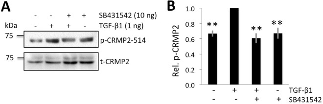 TGF-β1 increases relative p-CRMP2 expression in pure ND7/23 cultures. ( A ) Representative Western blots showing protein levels for phosphorylated (p-) CRMP2 and total (t-) CRMP2 in cultured ND7/23 cells with or without TGF-β1 stimulation. The samples were run on separate blots. Basal levels of both p- and t-CRMP2 were distinctly above zero. After 1 hour, TGF-β1 increased the expression of p-CRMP2, but not that of t-CRMP2. The TGF-β receptor inhibitor SB431542 blocked the up-regulation of p-CRMP2 observed following TGF-β1 stimulation. ( B ) Plot of relative expression of p-CRMP2/t-CRMP2 normalized to densitometric values obtained in cells treated with TGF-β1. Data shown are averaged over three experiments. Total CRMP2 levels were were used as loading controls. Data are expressed as means ± SD. ** P
