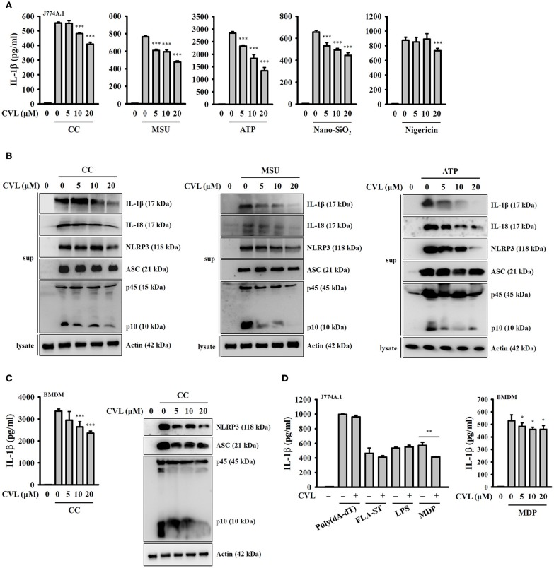 CVL reduced NLRP3 inflammasome activation. (A) J774A.1 macrophages were incubated for 5 h with LPS (1 μg/ml) (LPS priming) followed by incubation for 0.5 h with CVL. Cells were then incubated with CC (100 μg/ml, 24 h), MSU (100 μg/ml, 24 h), ATP (5 mM, 0.5 h), nigericin (10 μM, 0.5 h), and nano-SiO 2 (100 μg/ml, 24 h). (B) LPS-primed J774A.1 macrophages were incubated for 0.5 h with CVL followed by incubation with CC (100 μg/ml, 24 h), MSU (100 μg/ml, 24 h), and ATP (5 mM, 0.5 h). (C) LPS-primed BMDM were incubated for 0.5 h with CVL followed by incubation with CC (100 μg/ml) for an additional 24 h. (D) LPS-primed or Pam3CSK4-primed (for LPS transfection only) cells were incubated for 0.5 h with CVL followed by transfection with poly(dA/dT) (2 μg/ml, 6 h), FLA-ST (1 μg/ml, 6 h), MDP (10 μg/ml, 6 h), or LPS (2 μg/ml, 6 h). The levels of IL-1β, IL-18, NLRP3, ASC, and caspase-1 in the culture medium were measured by Western blot. The IL-1β levels in the supernatants were measured by ELISA. The Western blot results are representative of three different experiments. The ELISA data are expressed as the mean ± SD of three separate experiments. *, **, and *** indicate a significant difference at the level of p