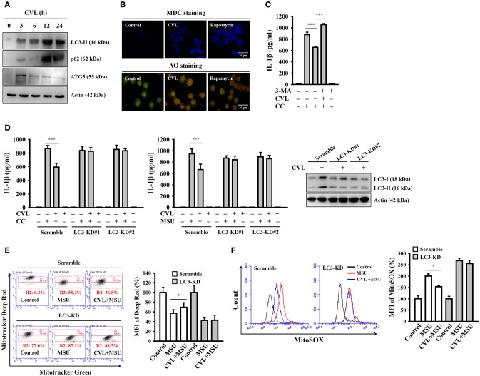 CVL inhibited the NLRP3 inflammasome by enhancing autophagy. (A) J774A.1 macrophages were incubated for 0–24 h with CVL (20 μM). The levels of LC3, p62, and ATG5 in the cell lysates were measured by Western blot. (B) J774A.1 macrophages were incubated with CVL (20 μM, 12 h) or rapamycin (100 nM, 4 h). Accumulation of the fluorescent signals of MDC and AO was measured by confocal microscopy. (C) LPS-primed J774A.1 macrophages were incubated for 0.5 h with 3-MA (5 mM) and CVL (20 μM) followed by incubation with CC (100 μg/ml) for an additional 24 h. The levels of IL-1β in the culture medium were measured by ELISA. (D) LPS-primed wild-type (scramble) and LC3-knockdown J774A.1 macrophages (clones #1 and #2) were incubated for 0.5 h with CVL (20 μM) followed by incubation with CC (100 μg/ml) or MSU (100 μg/ml) for an additional 24 h. The levels of IL-1β in the culture medium were measured by ELISA. The expression levels of LC3 in the wild-type and LC3-knockdown J774A.1 macrophages were measured by Western blot. (E,F) LPS-primed wild-type and LC3-knockdown J774A.1 macrophages were incubated for 0.5 h with CVL (20 μM) followed by incubation with MSU (100 μg/ml) for an additional 24 h. Mitochondrial integrity was measured by staining with MitoTracker Deep Red and MitoTracker Green (E) , and mitochondrial ROS was measured by staining with MitoSOX (F) . The MFI of Mitotracker Deep Red are expressed as the means ± SD for three separate experiments. The Western blot results are representative of three different experiments. The ELISA data are expressed as the mean ± SD of three separate experiments. * and *** indicate a significant difference at the level of p
