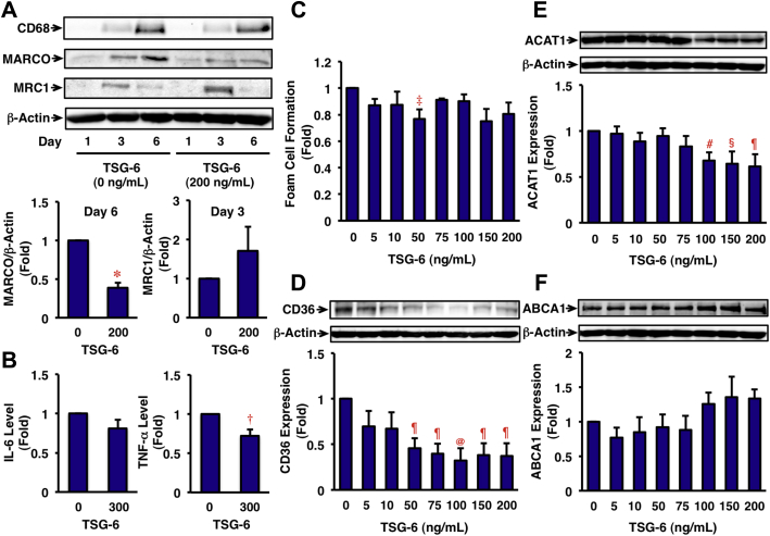 Effects of TSG-6 on Inflammatory Phenotypes, Cytokine Secretion, Foam Cell Formation, and Related Protein Expression in HMDMs (A) Human monocytes were incubated for the indicated times in RPMI-1640 medium containing 10% human serum with or without TSG-6 (200 ng/ml). Cells were harvested for immunoblotting analysis for CD68 (differentiation marker), MARCO (M1 marker), or MRC1 (M2 marker). β-actin served as a loading control. The graph shows the expressions of MARCO on day 6 and MRC1 on day 3. n = 3; *p